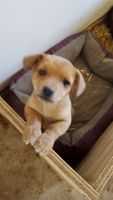 Jack Russell Terrier Puppies for sale in Middlefield, OH 44062, USA. price: NA