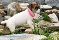 Jack Russell Terrier Puppies for sale in Oklahoma City, OK, USA. price: NA