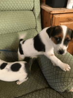 Jack Russell Terrier Puppies for sale in Pondfield Rd, Bronxville, NY 10708, USA. price: NA