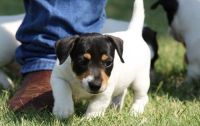 Jack Russell Terrier Puppies for sale in Boulder, CO, USA. price: NA