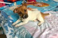 Jack Russell Terrier Puppies for sale in Beverly Hills, CA 90210, USA. price: NA