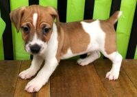 Jack Russell Terrier Puppies for sale in Madison, WI, USA. price: NA