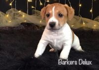 Jack Russell Terrier Puppies for sale in Jackson, MS, USA. price: NA