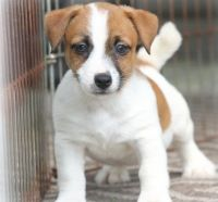 Jack Russell Terrier Puppies for sale in Pasadena, CA, USA. price: NA