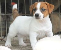 Jack Russell Terrier Puppies for sale in Denver, CO, USA. price: NA
