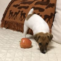 Jack Russell Terrier Puppies for sale in Levittown, NY, USA. price: NA
