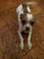 Jack Russell Terrier Puppies for sale in Boston, MA, USA. price: NA
