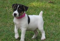Jack Russell Terrier Puppies for sale in Vancouver, WA, USA. price: NA