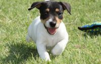 Jack Russell Terrier Puppies for sale in Decatur, GA 30030, USA. price: NA