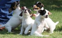 Jack Russell Terrier Puppies for sale in Irvine, CA, USA. price: NA