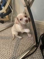 Jack Russell Terrier Puppies for sale in Houston, TX 77042, USA. price: NA