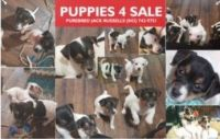 Jack Russell Terrier Puppies for sale in Myrtle Beach, SC, USA. price: NA