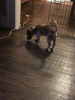 Jack Russell Terrier Puppies for sale in Linden, NJ, USA. price: NA