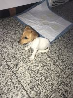 Jack Russell Terrier Puppies for sale in Brooklyn, NY, USA. price: NA