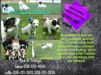 Jack Russell Terrier Puppies for sale in Idaho Falls, ID, USA. price: NA