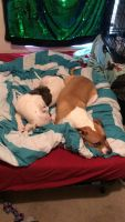 Jack Russell Terrier Puppies for sale in Riverview, FL, USA. price: NA
