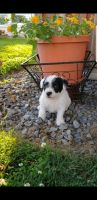 Jack Russell Terrier Puppies for sale in Allensville, PA 17002, USA. price: NA