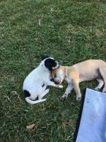 Jack Russell Terrier Puppies for sale in Vanderbilt Dr, Arlington, TX 76014, USA. price: NA