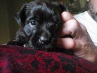 Jack Russell Terrier Puppies for sale in York, PA, USA. price: NA