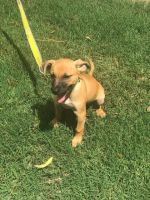 Jack Russell Terrier Puppies for sale in Kennesaw, GA, USA. price: NA