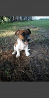 Jack Russell Terrier Puppies for sale in Brownstown, IN 47220, USA. price: NA