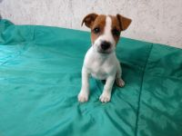 Jack Russell Terrier Puppies for sale in Pine Grove, PA 17963, USA. price: NA