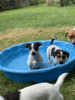 Jack Russell Terrier Puppies for sale in Eastlake, OH, USA. price: NA