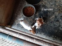 Jack Russell Terrier Puppies for sale in Scottsburg, IN 47170, USA. price: NA