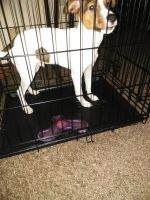 Jack Russell Terrier Puppies for sale in Wichita, KS, USA. price: NA
