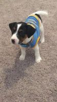 Jack Russell Terrier Puppies for sale in San Antonio, TX, USA. price: NA
