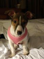 Jack Russell Terrier Puppies for sale in Chesterland, OH 44026, USA. price: NA