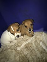 Jack Russell Terrier Puppies for sale in Birmingham, AL, USA. price: NA