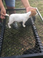 Jack Russell Terrier Puppies for sale in Palestine, TX, USA. price: NA