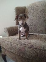 Jack Russell Terrier Puppies for sale in Norman, OK, USA. price: NA