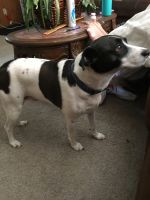 Jack Russell Terrier Puppies for sale in Inver Grove Heights, MN, USA. price: NA