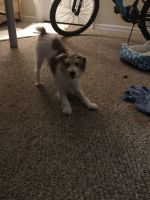 Jack Russell Terrier Puppies for sale in 4050 E Hillsborough Ave, Tampa, FL 33610, USA. price: NA