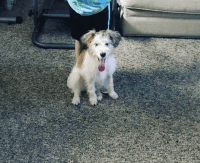 Jack Russell Terrier Puppies for sale in Tampa, FL, USA. price: NA