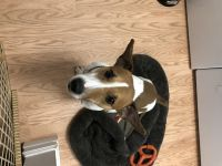 Jack Russell Terrier Puppies for sale in Englishtown, NJ 07726, USA. price: NA