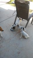 Jack Russell Terrier Puppies for sale in Phoenix, AZ, USA. price: NA
