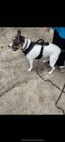 Jack Russell Terrier Puppies for sale in Ardmore, AL 35739, USA. price: NA