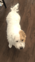 Jack Russell Terrier Puppies for sale in Stuart, FL 34994, USA. price: NA