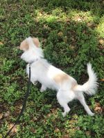 Jack Russell Terrier Puppies for sale in Boynton Beach, FL, USA. price: NA