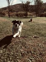 Jack Russell Terrier Puppies for sale in Olean, NY 14760, USA. price: NA