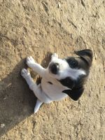 Jack Russell Terrier Puppies for sale in Bradley, CA 93426, USA. price: NA