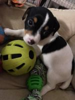 Jack Russell Terrier Puppies for sale in Port Richey, FL 34668, USA. price: NA
