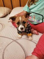 Jack Russell Terrier Puppies for sale in Pollock Pines, CA 95726, USA. price: NA