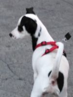 Jack Russell Terrier Puppies for sale in San Francisco, CA, USA. price: NA