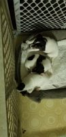 Jack Russell Terrier Puppies for sale in Columbia, SC, USA. price: NA