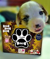 Jack Russell Terrier Puppies for sale in Harrisburg, PA, USA. price: NA