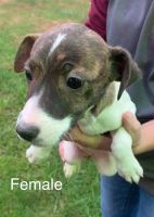 Jack Russell Terrier Puppies for sale in Three Rivers, MI 49093, USA. price: NA